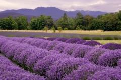 hd-lavendar-645x300